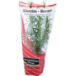 Alecrim vaso aromáticas vivas